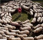 Circolo di pecore